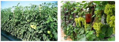 Планируем урожай при выращивании винограда